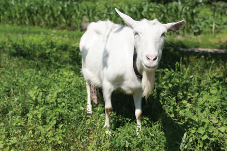 The young goat grazes on meadow  Shallow depth of field  Stock Photo