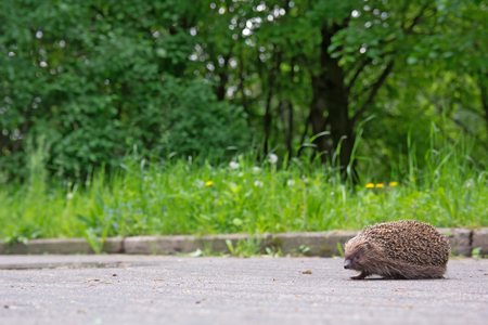 Hedgehog on the sidewalk in the park Stock Photo
