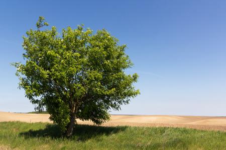 Single tree on empty field  Blue sky on background
