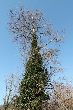 tree, dry, overgrown with ivy, form of a Christmas tree, blue sky, green leaves, dry branches