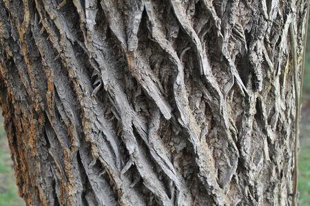 , gray, brown, nature, texture, oblique secular cortical lines.the tree is 300 years old Stock fotó