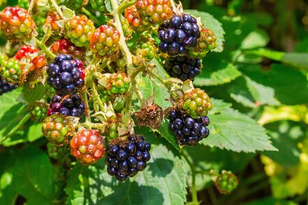 Wild berries of mature and not mature blackberries on the branch