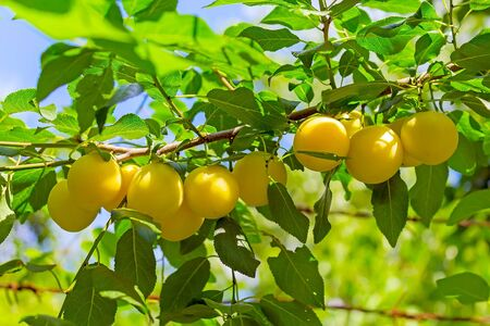 Branch of a tree with ripe yellow plums