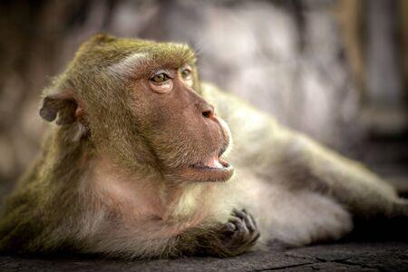 Oude aap ligt op de grond