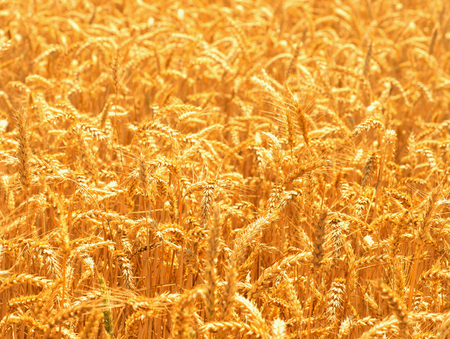 Fields of wheat at the end of summer fully ripe Stock fotó