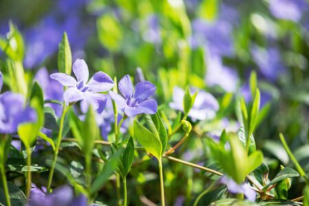 Blue flowers periwinkle on the background