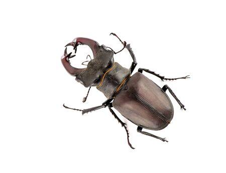 Male stag beetle, Lucanus cervus isolated on white background Stockfoto