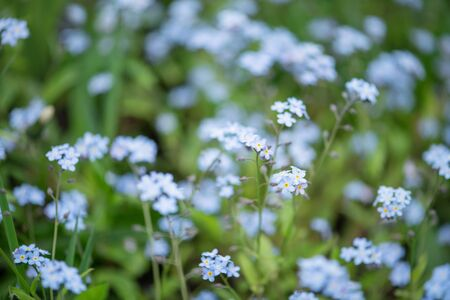 Little blue forget-me-not flowers on spring meadow Stock Photo