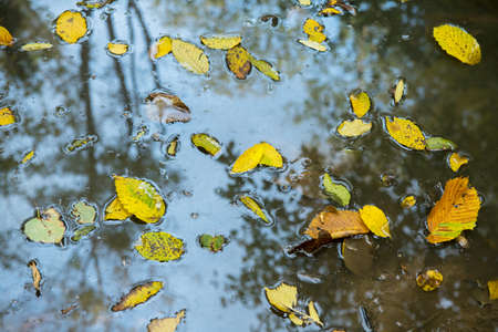 Autumn yellow leaves in puddle of water. Standard-Bild