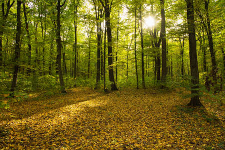 Autumn forest trees. Nature yellow wood sunlight backgrounds.