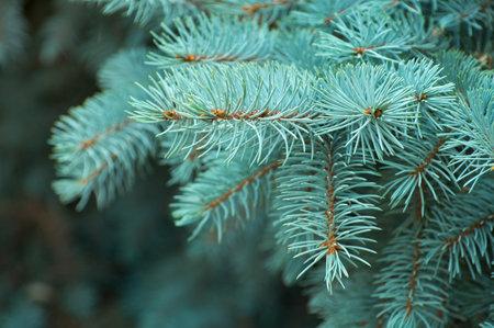 Branches of blue fir tree. 免版税图像