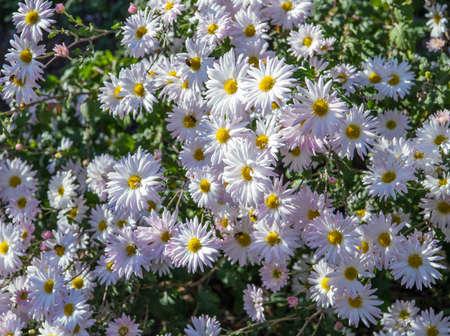 White Chrysanthemums in the garden