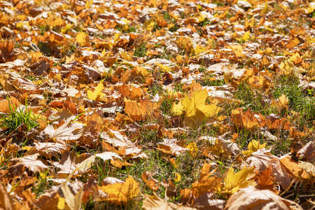 Fallen maple leaves on the ground.