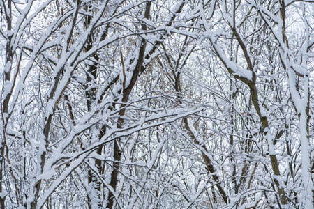 Winter, snow on the branches of a tree. 免版税图像
