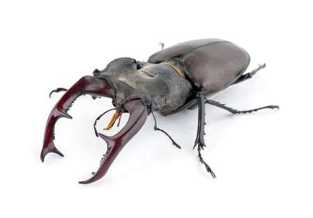 Male stag beetle, Lucanus cervus isolated on white background 免版税图像