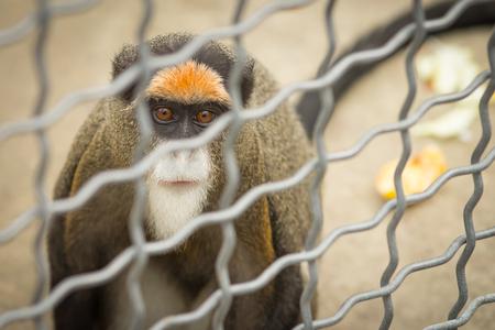 Monkey brazza in a cage Stock Photo