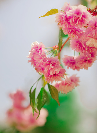 Spring time. Blooming pink branches. Macro, blur effect and selective focus.