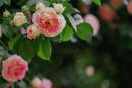 Beautiful pink roses in a summer garden. Selective focus.