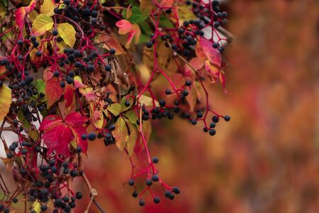 Autumn colors. Early leaves of ornamental grapes. Selective focus. Blur effect. Zdjęcie Seryjne