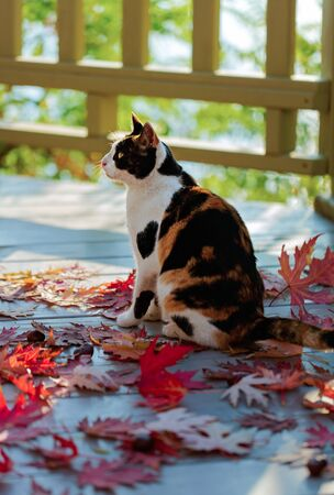 Funny cat on the terrace sitting on red maple leaves on gray wooden background. Selective focus. Blur effect. Zdjęcie Seryjne