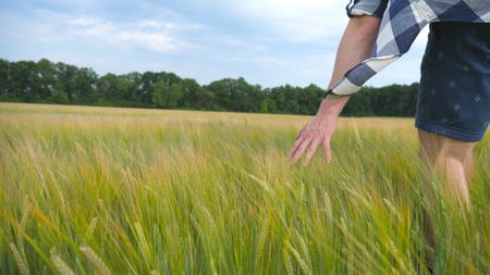 sway: Male hand moving over wheat growing on the field. Meadow of green grain and mans arm touching seed in summer. Guy walking through cereal field. Slow motion Close up