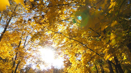 Warm sunbeams breaks through crowns of plants with lush foliage in park. View to tree tops with yellow maple leaves in autumn forest at sunny day. Beautiful colorful fall season. Low view Slow motion Imagens