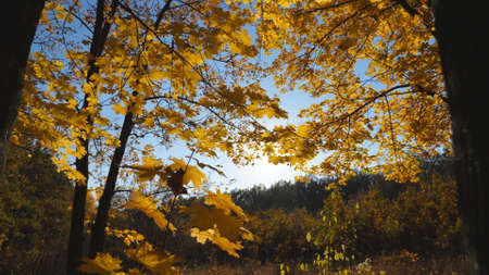 Close up of golden maple leaves falls on ground in autumn forest. Yellow vivid foliage covered lawn in park at sunset. Bright sunlight illuminates nature. Beautiful colorful fall season. Slow motion