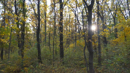 Warm sunbeams illuminate lush foliage of maple plants. Bright sunlight breaks through high trunks of trees in autumn forest. Beautiful nature landscape at sunny day. Dolly shot Slow motion Imagens - 154676692