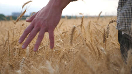 Young farmer walking through the barley field and stroking with arm golden ears of crop. Male hand moving over ripe wheat growing on the meadow. Agricultural business concept. Rear view Slow motion