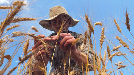 Young agronomist exploring ripe barley stalks at golden plantation. Male farmer examining wheat ears at cereal field. Concept of agricultural business. Blue sky at background. Low view Slow motion