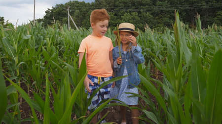 Cute girl holding in hand cornstalk and telling something her friend while going through corn field at organic farm. Small kids talking during walk among maize plantation. Concept of happy childhood