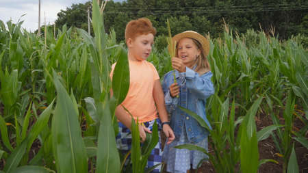 Cute girl holding in hand cornstalk and telling something her friend while going through corn field at organic farm. Small kids talking during walk among maize plantation. Concept of happy childhood Imagens - 154242874
