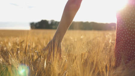 Close up of female hand moving over ripe wheat growing on the meadow. Young girl walking through the barley field and stroking golden ears of crop. Sunlight at background. Rear view Slow motion Imagens - 157499420