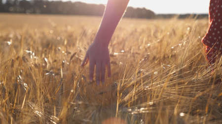 Close up of female hand moving over ripe wheat growing on the meadow. Young girl walking through the barley field and stroking golden ears of crop. Sunlight at background. Rear view Slow motion Imagens - 157499421