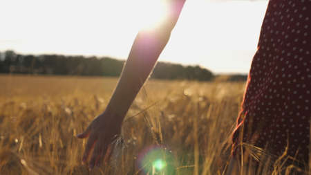 Close up of female hand moving over ripe wheat growing on the meadow. Young girl walking through the barley field and stroking golden ears of crop. Sunlight at background. Rear view Slow motion Imagens - 157499422