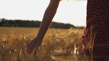 Close up of female hand moving over ripe wheat growing on the meadow. Young girl walking through the barley field and stroking golden ears of crop. Sunlight at background. Rear view Slow motion Imagens - 157499423