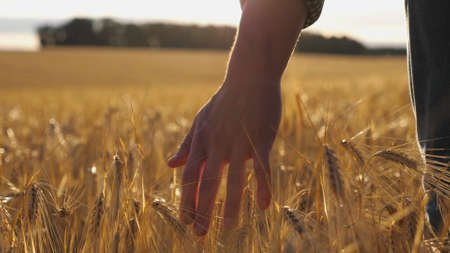 Close up of male hand moving over wheat growing on the plantation. Young man walking through the barley field and gently stroking golden ears of crop. Sunlight at background. Rear view Imagens