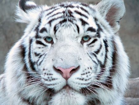 white tiger head close-up#1