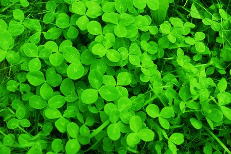 background from green clover leaves Stock Photo - 3841893