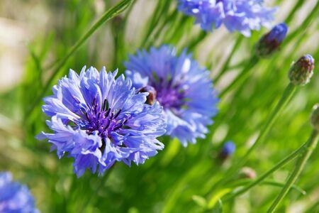 blue cornflowers on green meadow Stock Photo