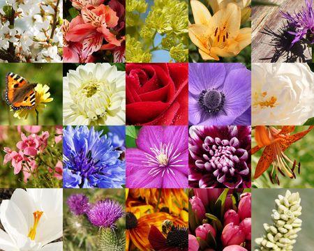 flores de la colección de macros: Rosas, lirios, clematis, dahlias, crocus, tulipanes, flor de cerezo, anemone