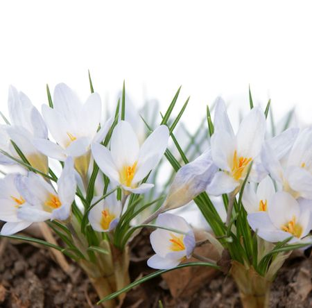 many white crocuses with white background above Stock Photo