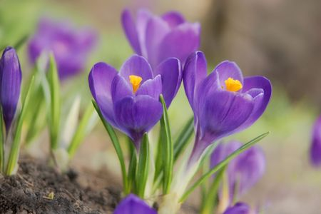 purple spring crocuses