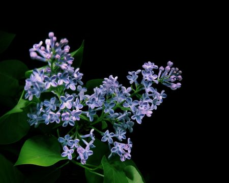 purple lilac: purple lilac on black background Stock Photo