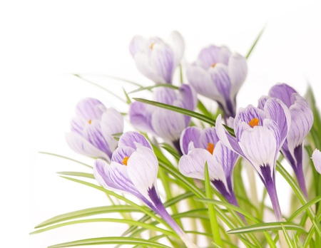spring stripy crocuses on white background photo