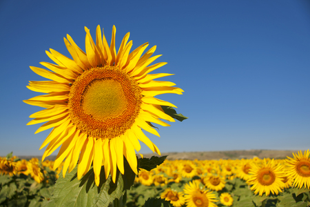sunflower field in full blossom under blue sky