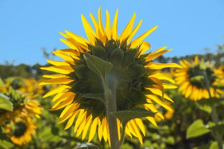 reverse: sunflower field reverse with blue sky