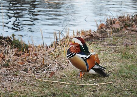 mandarin duck in nature