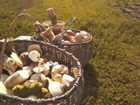 Wicker baskets, completely filled with different mushrooms. Bunch of porcini mushrooms next to baskets of mushrooms. Stock Photo