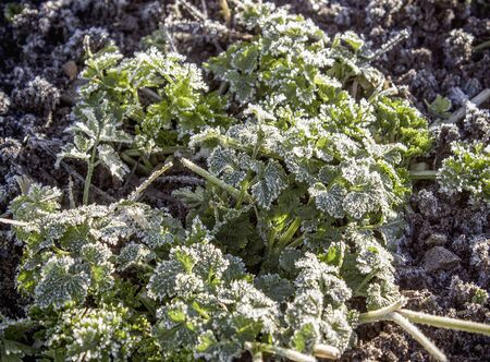 Frozen greens in the garden after the morning frost. Hoarfrost covered the grass.